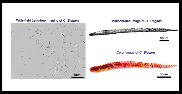 Color and Monochrome Lensless On-chip Imaging of Caenorhabditis Elegans Over a Wide Field-of-View